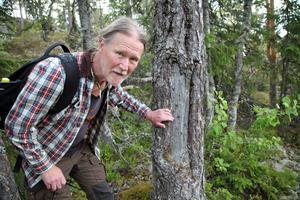 Bernt Ove Viklund visar bläckan med inristningar på en tall som uppskattas vara 300-400 år gammal.