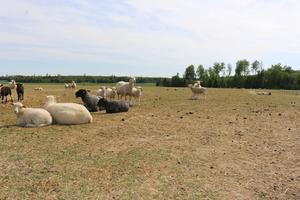 Fåren har betat det gräset som finns, så Per Hellstrand har börjat stödfodra.
