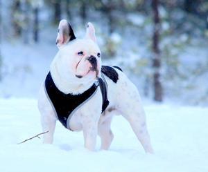 Om bilden: Detta är min Franska Bulldog på snart 6 år , Han är född på alla hjärtans dag och har 2 stycken hjärtan i sin päls mitt emot varandra .Han är en snö älskare. Han älskar vintern bäst av alla årstider. En riktig charmör men en envis sådan. Foto: Daniella Micklin