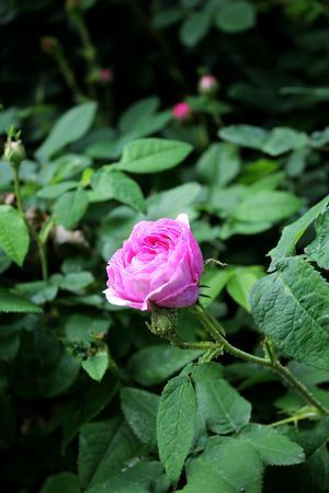 Den rosa vildväxande rosen heter Aimable Amié.