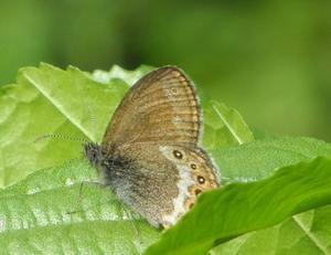 Brun gräsfjäril, en av Lönnemossahagarnas alla fjärilar. Foto: Lennart Bratt