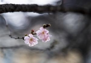Körsbärsblommor håller på att slå ut i det milda januarivädret i en park på Södermalm i Stockholm.