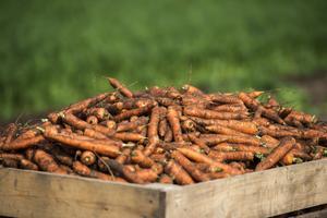 Enligt insändarskribenten är Sverige självförsörjande på bland annat morötter. Foto: TT