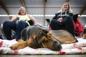 Blodhunden Elektra var ensam i sin ras på utställningen. Hon tog det lugnt och samlade kraft inför sin insats i ringen. I bakgrunden sitter Ann-Cathrin och Lisa Nilsson från Östersund.