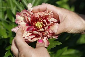 Itoh-hybriden Kopper Kettle får stora blommor som skiftar i flera färger.
