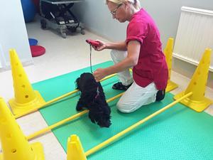 Hundsjukgymnasten Ann Timan genomför övningar som ska träna upp korsbandsopererade Bessies muskler.