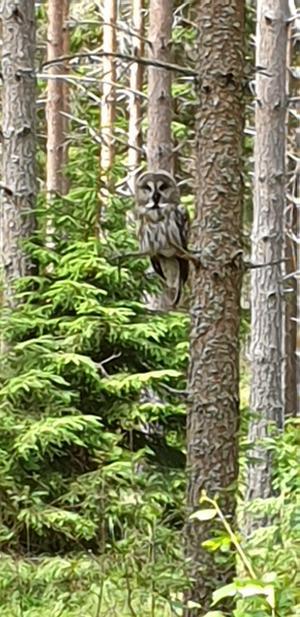 Gått i Hebyskogarna över 40 år. Aldrig träffat på en sådan här skönhet. Tror att det är en lappuggla. Foto: Johnny Kullberg