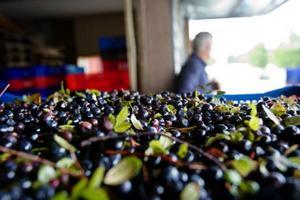 Visst finns det blåbär, men inte så mycket som de utländska plockarna hade hoppats på.