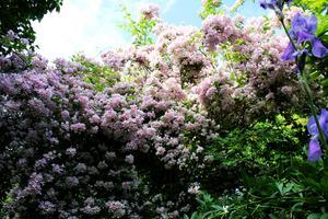 Den gigantiska paradisbusken blommar för fullt i juni.