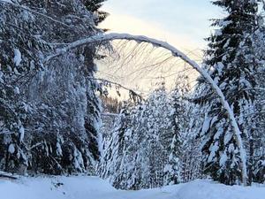 Snön tynger ned träden och kan orsaka toppbrott. Foto: Nils Frank, Skogsstyrelsen