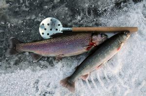 Överst en regnbåge och nederst en röding. Fiskarter som är inplanterad i Värptjärn.  Foto: Jan-Arne Bäckström
