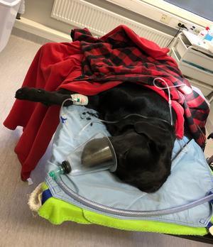 Fenris var i mycket dåligt skick när han kom in till djursjukhuset.