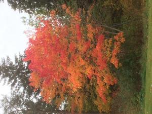 Bland gröna växter fullständigt bedövar oktoberlönnens färgprakt.Bilden tog jag idag 8/10 i Grind. Foto:Jan Dock