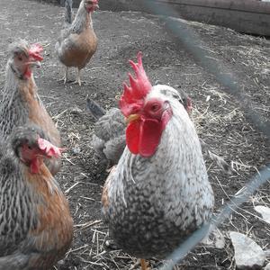 Hönan Agda tar nu semester efter all äggproduktion.