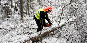 En hel del sågande ute i skogarna är att vänta kommande månaderna. Stora mängder skog måste vara borta innan sommaren, annars riskerar insekter som granbarkborren att ta död på både död som frisk ved.
