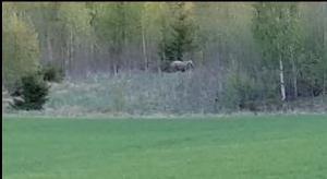 En björn siktades plötsligt av barnfamiljen i Bollnäs. Pappa Mathias Redenius hann precis fånga den på film. Se filmen längre ned i artikeln.