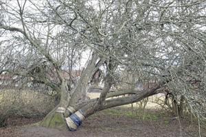 Fastighetsägaren vill börja bygga i parken där äppelträdet står.