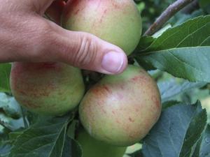 För tätt. När äppelkarten sitter tätt som i en druvklase behöver trädet hjälp med gallring.Foto: Katarina Kihlberg