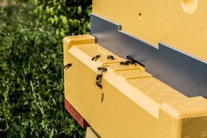 Just nu är det maskrospollen som samlas in till kupan. Den syns som små gula bollar på binas ben.