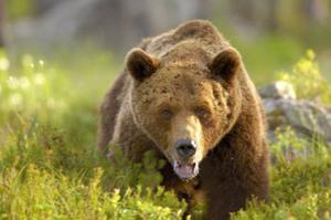 Filip Hedberg har fotograferat detta nära björnmöte utanför Edsbyn den 3 september.