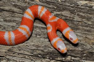 Tvåhövdad orm i USA.