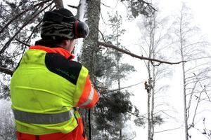 Martin Löthman ska se till så att trädtoppen faller i rätt rikting, då kollegorna Kristoffer Eliasson och Stuart Tatcher sågar ned den.