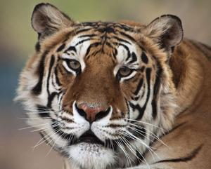 """Tigern """"Thriller""""."""