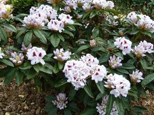 Har varit i Skåne och sett slottsparken och slottet Sofiero, i år vald till Europas vackraste park. Jag tog bilder från bl a den främsta attraktionen i trädgården, rhododendronbestånden. Kunde då inte heller låta bli att också ta en närbild på de vackra blommorna. Sofiero erbjuder idealiska förutsättningar för rhododendron. I ravinerna kring slottet finns lä och en blandning av ljus och skugga.