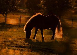 Ljuset föll så vackert på denna betande häst att jag var tvungen att försöka fånga det.