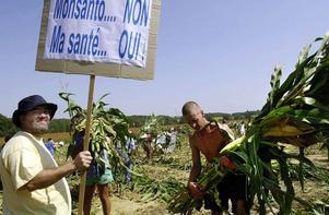 Monsantos framfart går inte obemärkt förbi. Här demonstrerar franska aktivister och kapar ner ett av Monsantos fält med genmodifierad majs.