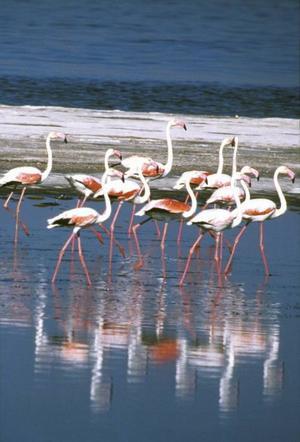 Turkiet har tusentals flamingos. Se dem vid Göksudeltat.