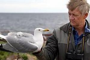 Foto: LASSE HALVARSSON Sjuk gråtrut. ornitologen Per Aspenbeeg med en fågel som varken kan gå eller flyga. - Den ser rätt pigg ut ändå så den måste precis ha insjuknat, säger han.