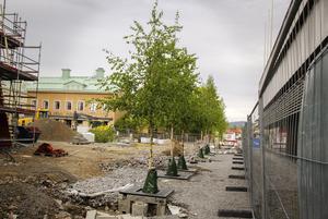 Ett tjugotal björkar har planterats på Brotorget.
