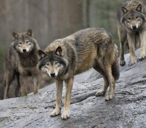 Rapporter om rovdjursobservationer kan lämnas på länsstyrelsens rovdjurstelefon.