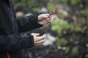 Trots att plantan behandlats med en blandning av lim och sand har snytbaggen kommit åt en planta som Erik hittar.