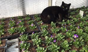 Växthuskatten Astrid hänger gärna med på rundtur och visar favoritplatserna.