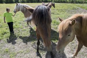 Totalt finns åtta hästar, sex fullstora och två ponnyer, på gården.