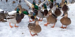 Vid Svartån vill änderna bli matade året om.