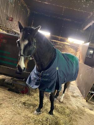 Hästen gav sig iväg på ett äventyr och hann promenera sju kilometer innan den fångades in.