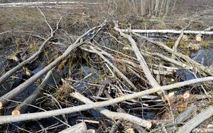 Sammanlagt har 20-talet träd sågats ned.