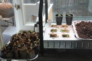 Uppe i Peter Streijfferts lägenhet pågår förkultivering för fullt, här är en av hans hydroponiska odlingar. Då odlar man utan jord, bara vatten och näring tillförs.