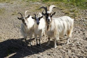 Meja, Gro och Billy är tre av Daniels fyra getter.
