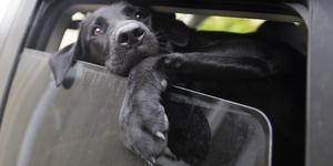 Det kan snabbt bli varmt i bilar för hundar. Foto: TT