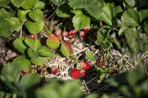 Zephyr och Korona heter de två plantsorterna i Västansjö.