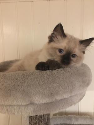 8) Det här är Doris som är en utav våra kattungar. Doris är en ragdoll. Foto: Jennie lindqvist