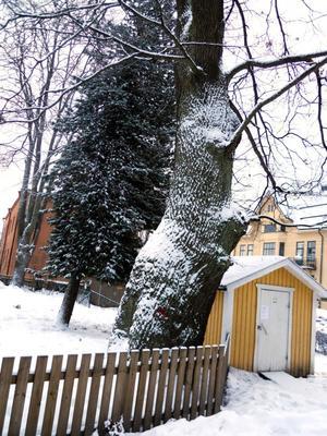 Eken på förskolan Junibackens gård ska avverkas för att göra rum åt en barack till förskolans nya avdelning. Eken är 250 år gammal.