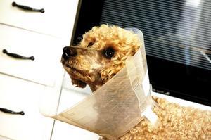 Konvalescent. Sigge får lov att gå med tratten i tio dagar, sedan ska veterinären ta bort stygnen.