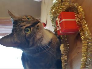 Selma är den busiga katten som alltid är på lekhumör. Här går hon loss på julpyntet. Bild: Robert Zinderström