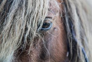 Sommaren har gett för lite skörd för att alla hästar ska få tillräckligt till vintern. Foto: Martina Holmberg / TT