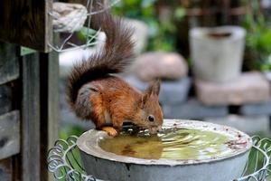Monika Litz tog den här fina bilden på ekorren som kalasar på vatten. Bilden var ett av bidragen i månadens bild i maj.